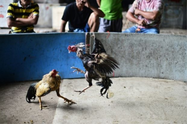 Online cockfighting
